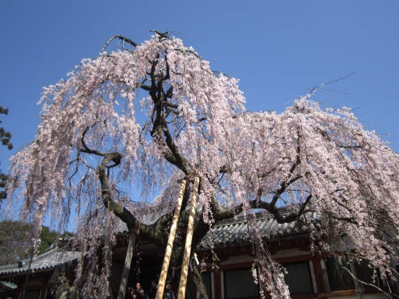 himuro-sakura.jpg